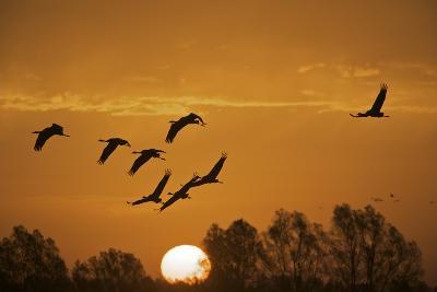 Common Cranes (Grus Grus) in Flight at Sunrise, Brandenburg, Germany, October 2008-M?llers-Photographic Print