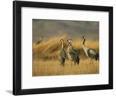 Common Cranes in a Grassy Landscape-Klaus Nigge-Framed Photographic Print
