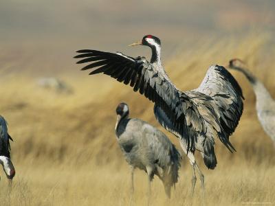 Common Cranes on a Grassland-Klaus Nigge-Photographic Print