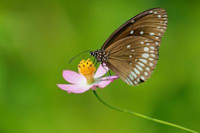 Common Crow Butterfly-Fabio Lotti-Photographic Print