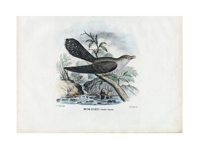 Common Cuckoo, 1863-79-Raimundo Petraroja-Giclee Print