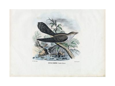 https://imgc.artprintimages.com/img/print/common-cuckoo-1863-79_u-l-purfjv0.jpg?p=0