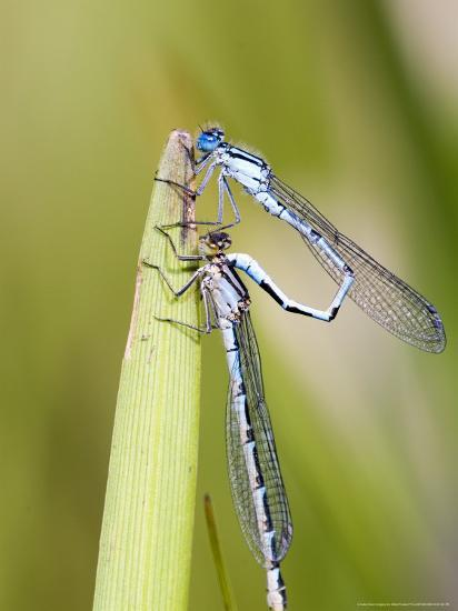 Common Damselfly, Male and Female Pre Wheel Position, UK-Mike Powles-Photographic Print