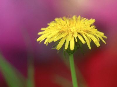 https://imgc.artprintimages.com/img/print/common-dandelion-flower-tn_u-l-q10qw6w0.jpg?p=0
