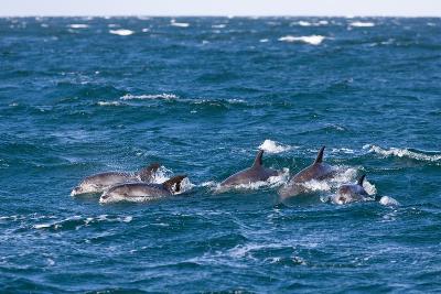 Common Dolphin Pod (Delphinus Capensis)-Reinhard Dirscherl-Photographic Print