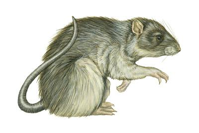 https://imgc.artprintimages.com/img/print/common-domestic-rat-rattus-norvegicus-mammals_u-l-q135la40.jpg?p=0
