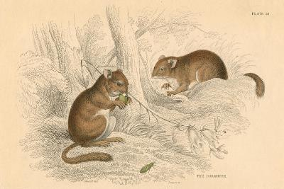 Common Dormouse (Muscardinus Arvellanariu), Hibernating Rodent, 1828--Giclee Print