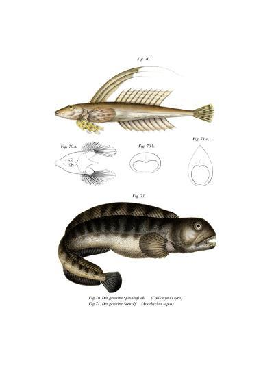 Common Dragonet--Giclee Print