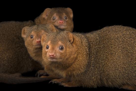 Common Dwarf Mongooses, Helogale Parvula, at the Omaha Henry Doorly Zoo-Joel Sartore-Photographic Print