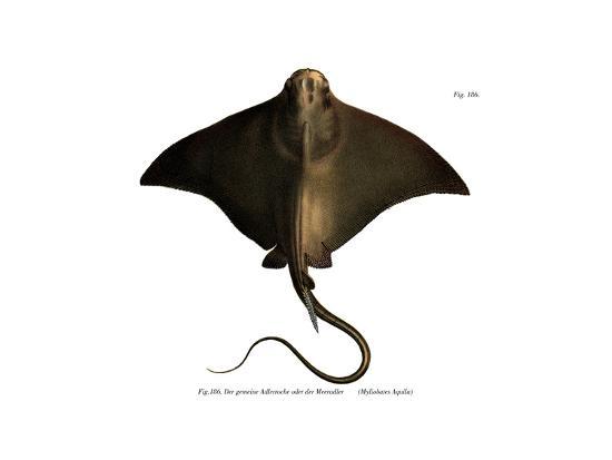 Common Eagle Ray--Giclee Print