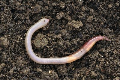 Common Earthworm-Colin Varndell-Photographic Print