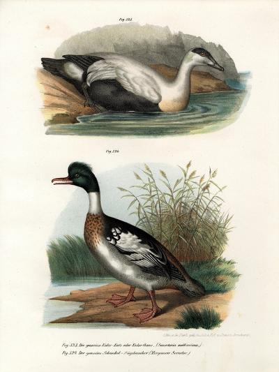 Common Eider Duck, 1864--Giclee Print