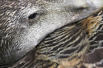 Common Eider Duck Female, Close-Up of Eye And--Photographic Print