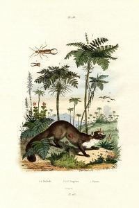 Common European Earwig, 1833-39