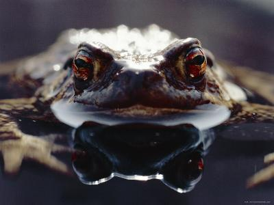 Common European Toad Female Portrait (Bufo Bufo) in Water, England-Chris Packham-Photographic Print