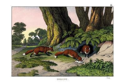 Common Fox, 1860--Giclee Print