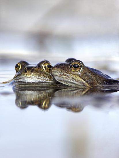 Common Frogs Spawning-Duncan Shaw-Photographic Print