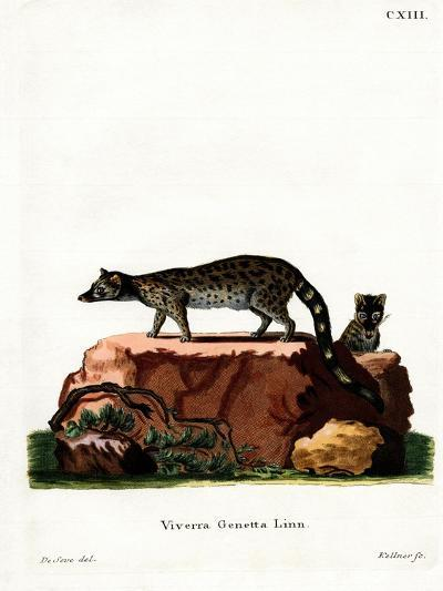 Common Genet--Giclee Print