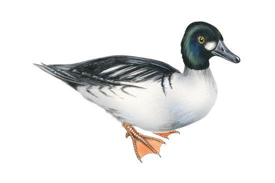 Common Goldeneye (Bucephala Clangula), Duck, Birds-Encyclopaedia Britannica-Art Print