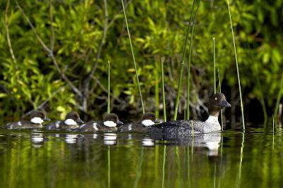 Common Goldeneye (Bucephala Clangula) Female Swimming with Four Chicks, British Columbia, Canada-James Hager-Photographic Print