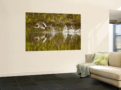 Common Goldeneye Takes From Calm Water on Lazy Creek Near Whitefish, Montana, USA-Chuck Haney-Wall Mural
