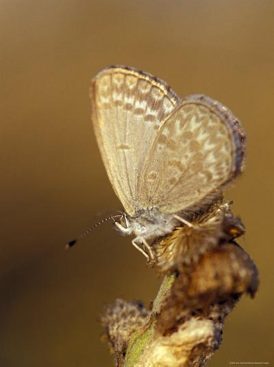 Common Grass Blue Butterfly Becomes Active as the Day Warms Up, Australia-Jason Edwards-Photographic Print