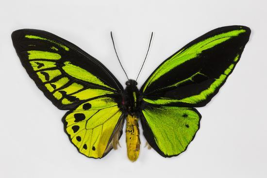 Common Green Birdwing Butterfly, Comparing the Top Wing and Bottom-Darrell Gulin-Photographic Print