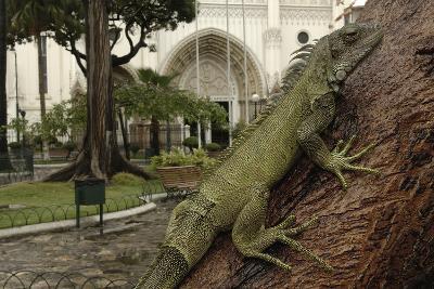 Common Green Iguana (Iguana Iguana) Living Wild in Parque Seminario, Guayaquil, Ecuador. 2005-Pete Oxford-Photographic Print