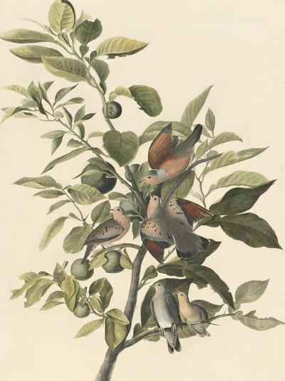 Common Ground Dove-John James Audubon-Giclee Print