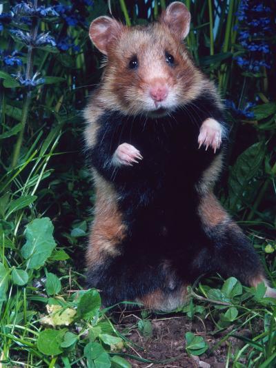 Common Hamster (Cricetus Cricetus)-Reinhard-Photographic Print