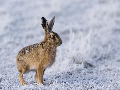 Common Hare, Standing in Haw-Frost Field, Lancashire, UK-Elliot Neep-Photographic Print