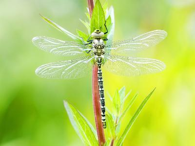 Common Hawker, Newly Emerged Male on Plant, UK-Mike Powles-Photographic Print