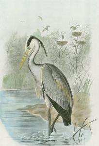 Common Heron