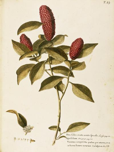 Common Holly (Ilex Aquifolium)--Giclee Print