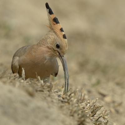 Common Hoopoe (Upupa Epops) Feeding On Ground, India-Loic Poidevin-Photographic Print