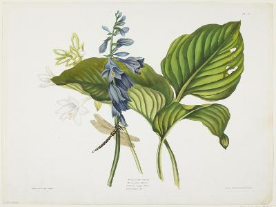 Common Hostas and English Dragon Fly-Robert The Younger Havell-Giclee Print