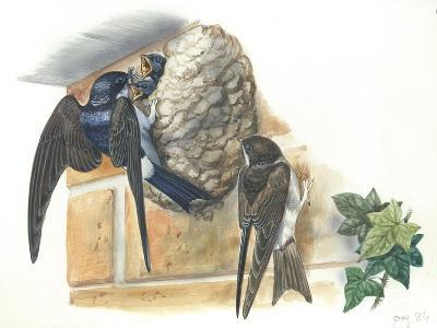 Common House Martin Delichon Urbicum Feeding Young in Nest--Giclee Print
