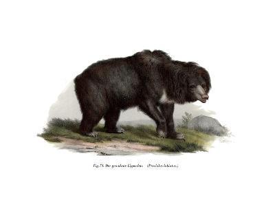 Common Indian Sloth Bear, 1860--Giclee Print