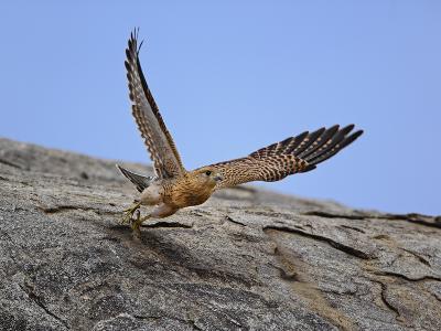 Common Kestrel (Falco Tinnunculus) in Flight, Serengeti National Park, Tanzania, Africa-Adam Jones-Photographic Print