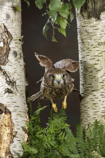 Common Kestrel Flying Between Silver Birch Trees--Photographic Print