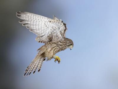 Common Kestrel Hovering--Photographic Print