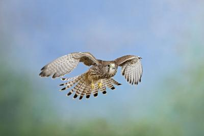 Common Kestrel in Flight--Photographic Print