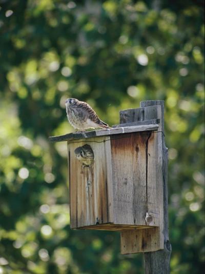 Common Kestrels Nest in a Bird House-Dr^ Maurice G^ Hornocker-Photographic Print