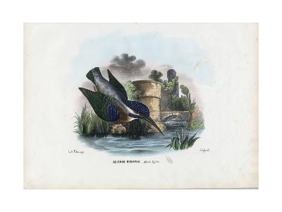 Common Kingfisher, 1863-79-Raimundo Petraroja-Giclee Print
