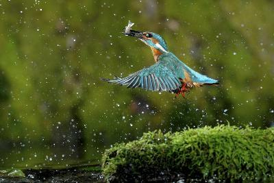 Common Kingfisher {Alcedo Atthis} Coming Up Out of Water with Fish, Lorraine, France-Poinsignon and Hackel-Photographic Print