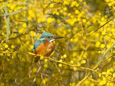 Common Kingfisher Perched in Yellow Flowering--Photographic Print
