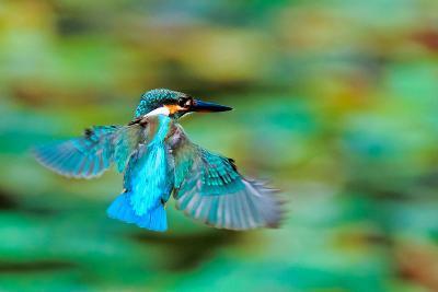 Common Kingfisher-Sunnyha Images-Photographic Print