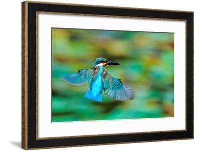 Common Kingfisher-Sunnyha Images-Framed Photographic Print