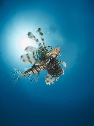 Common Lionfish (Pterois Miles) from Below, Back-Lit by the Sun, Naama Bay-Mark Doherty-Photographic Print