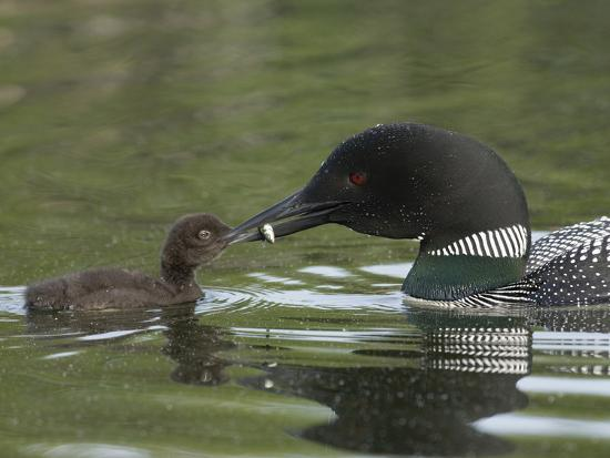 Common Loon Feeding a Fish to a Chick (Gavia Immer), Kenai, Alaska, USA-Tom Walker-Photographic Print